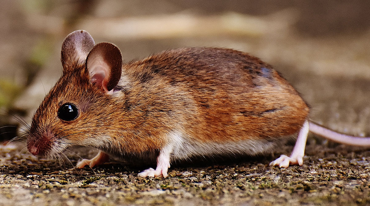 Drøm om mus