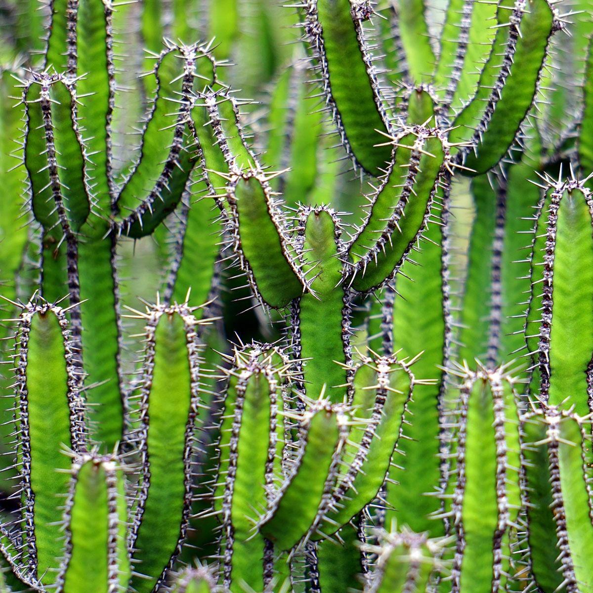 dreams-planter-kaktus