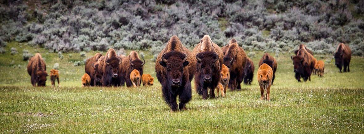 medicinhjul-01-buffalo
