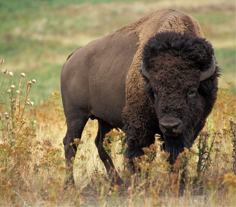 medicinhjul-02-buffalo